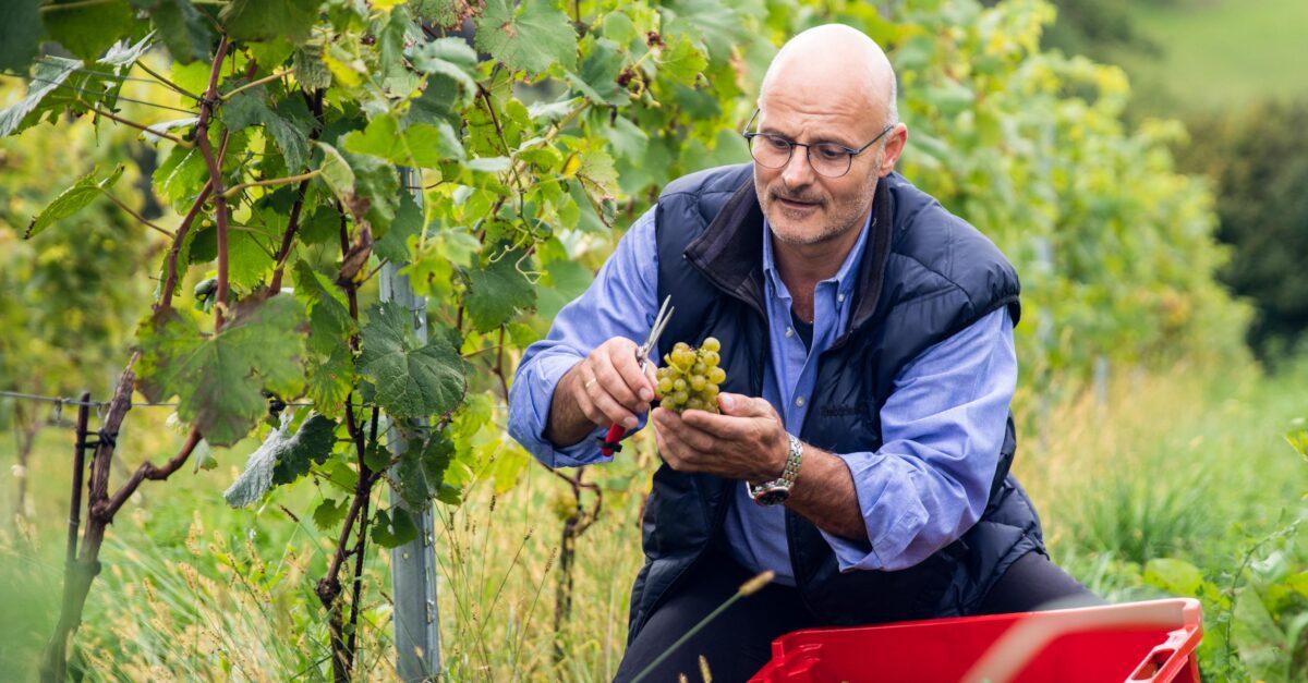 Vertriebsberater und Hobby-Winzer Robert Mack bei der Lese in seinem Weingarten